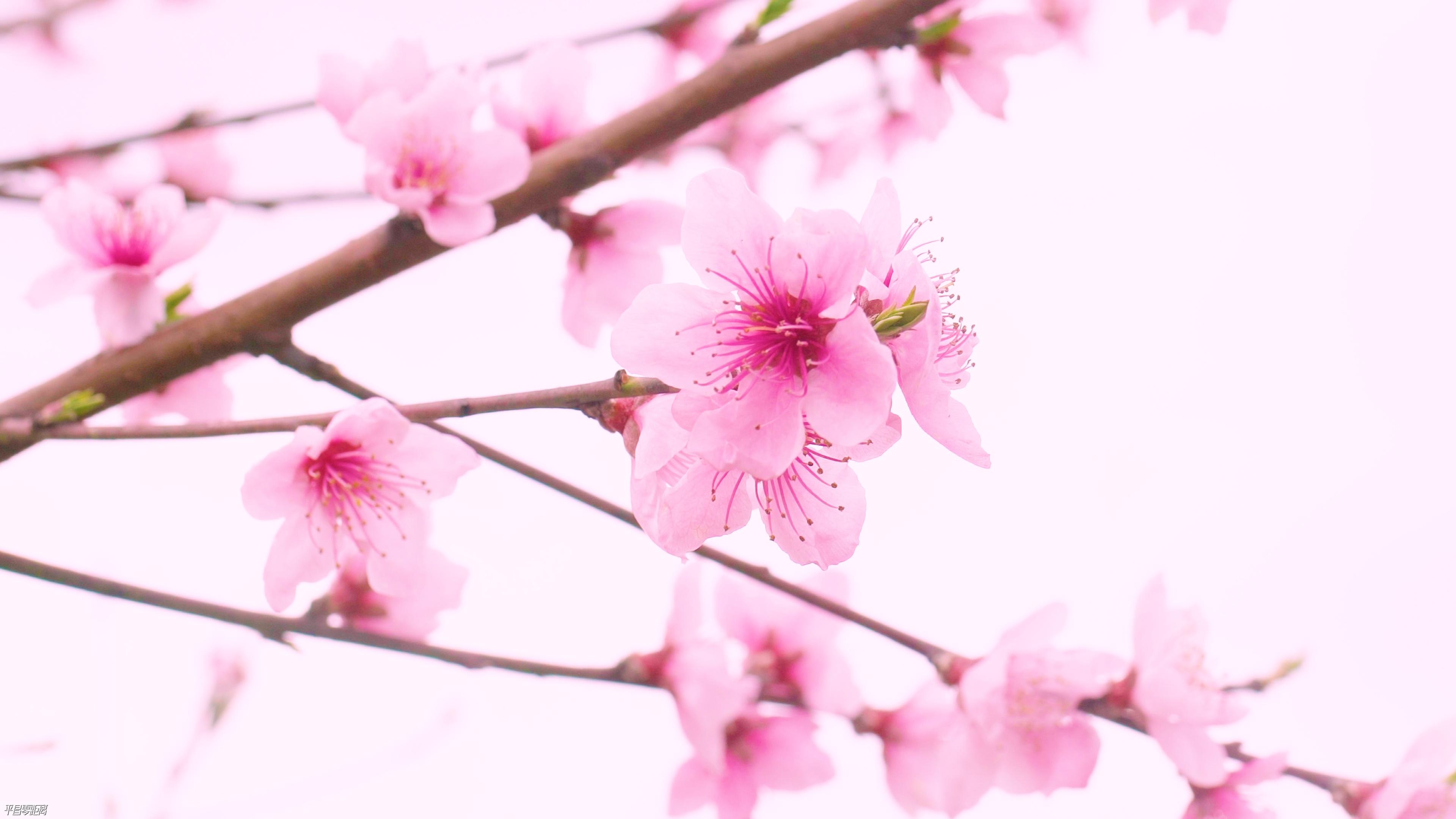 不用到处找春天了!平昌这些地方的春色藏都藏不住~